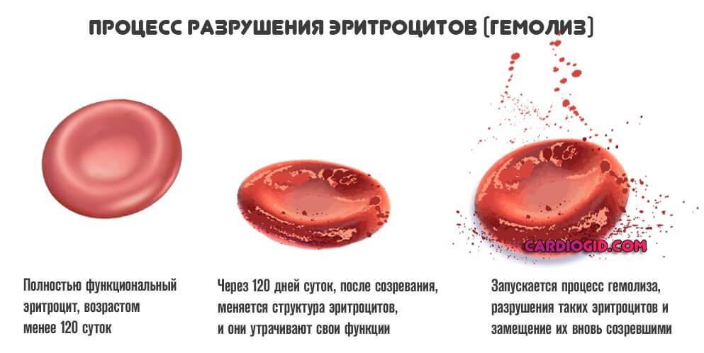 Эритроциты функции в организме