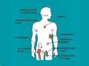 Лимфоциты на 100 лейкоцитов